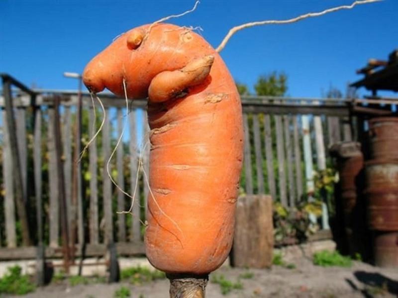 Етсественный изгиб моркови
