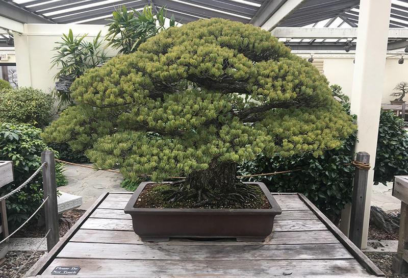 Дерево бонсай, посаженное в 1625 году, пережило бомбардировку Хиросимы и продолжает расти