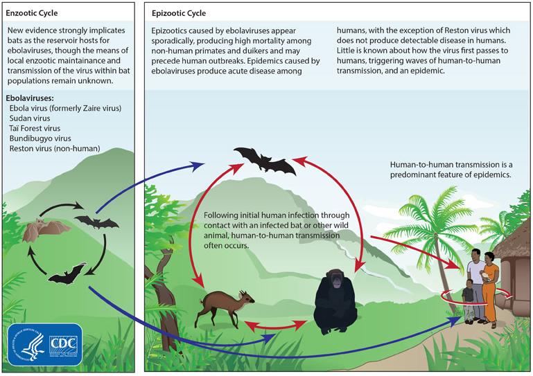 Циркуляция вируса Эбола в природе и путь передачи человеку