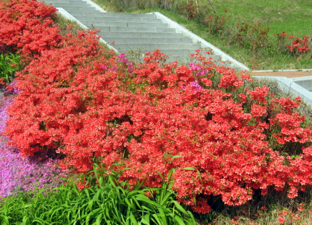 красные рододендроны