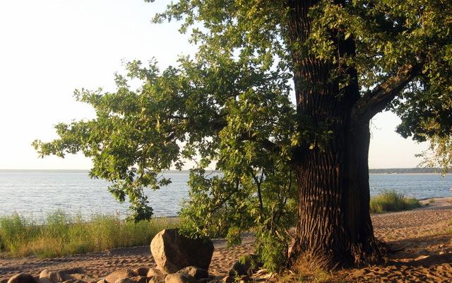 дуб на берегу