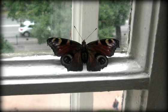 бабочка-001