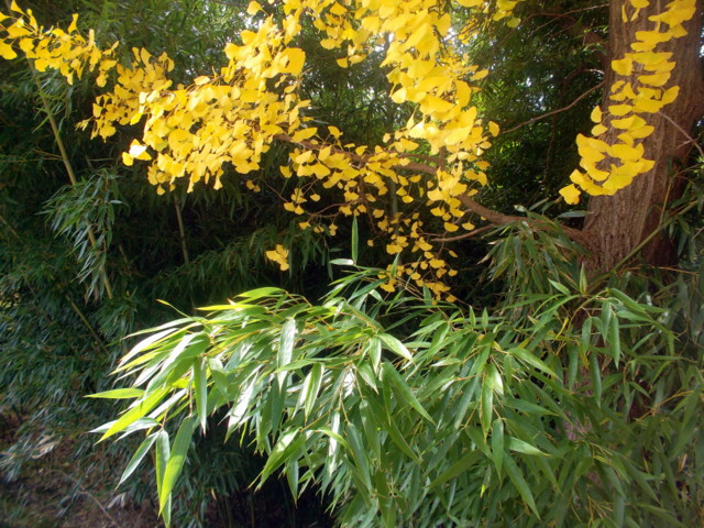 бамбук и гинкго