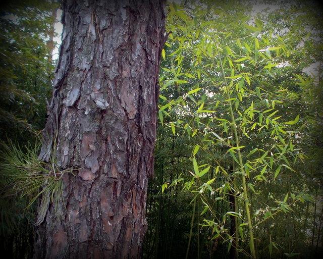 сосна и бамбук
