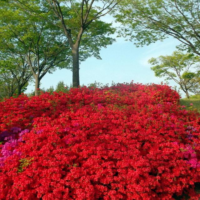 красный рододендрон