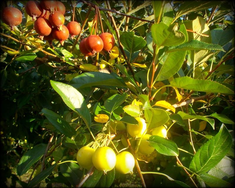 красные и жёлтые яблоки