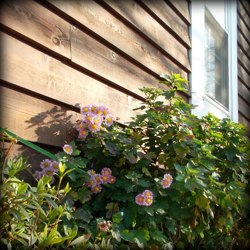 дом с хризантемами
