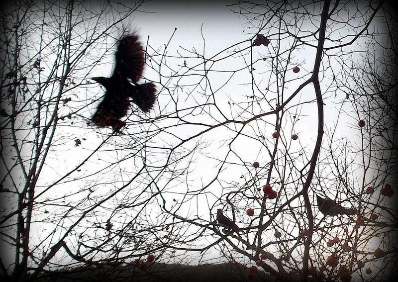 Вороны клюют хурму
