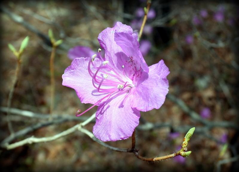 цветок багульника