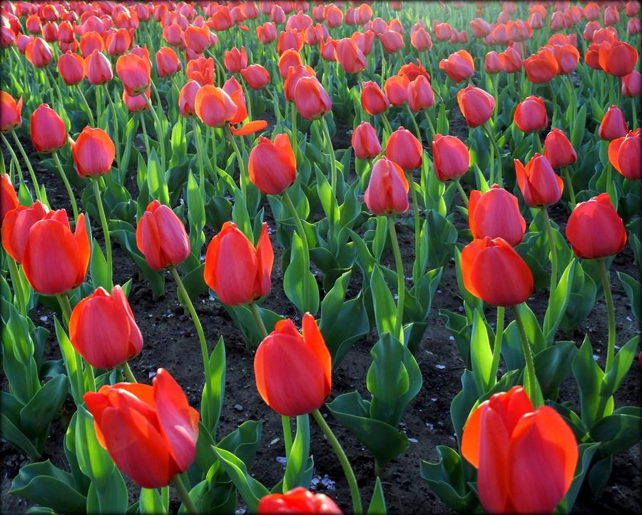 тюльпаны_5