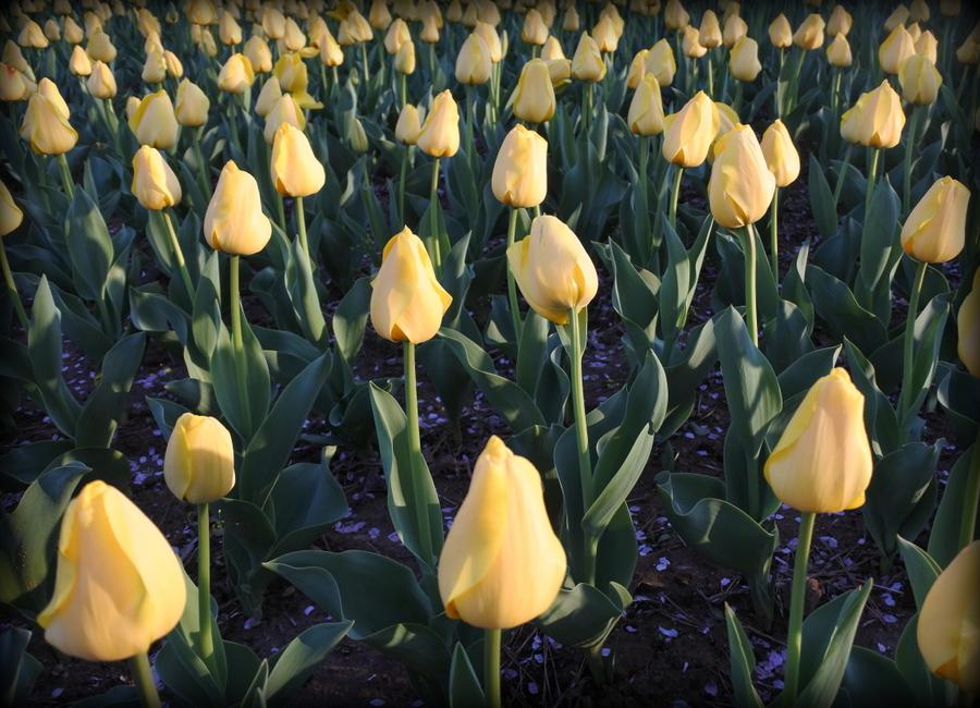 тюльпаны_3