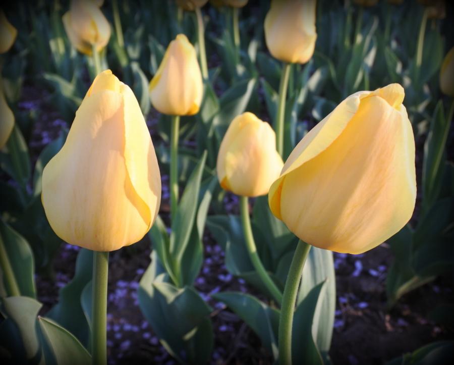 тюльпаны_4