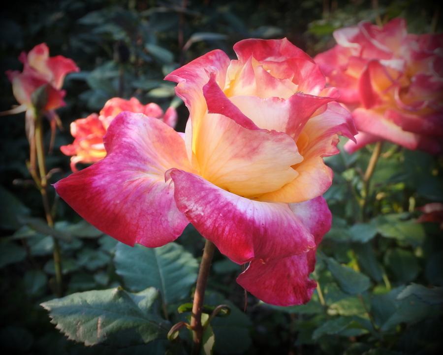 розы_5