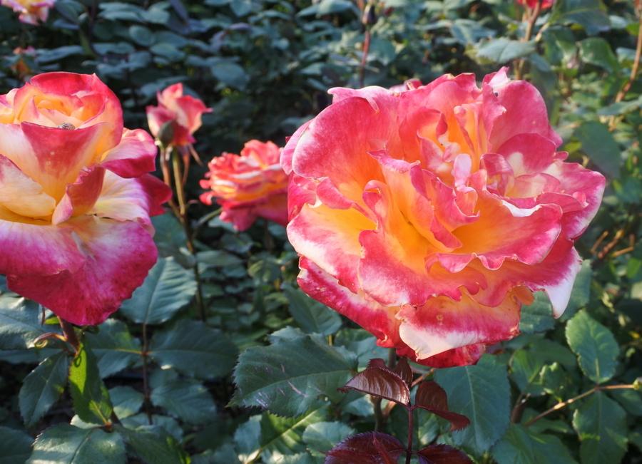 розы_6