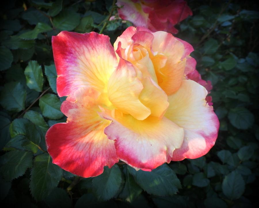 розы_8