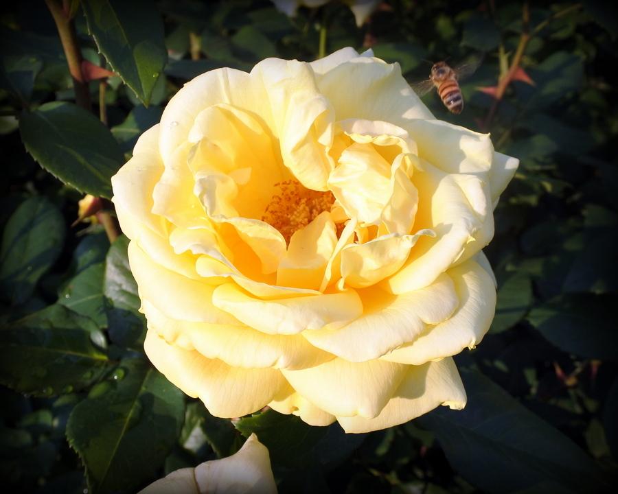 розы_10