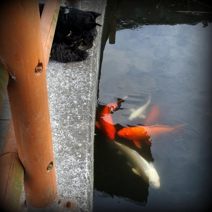 Пёс наблюдает за рыбами