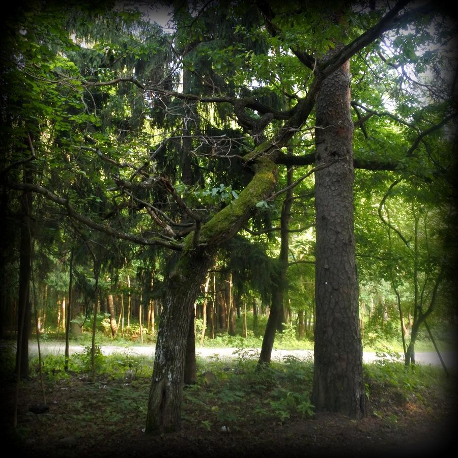 Кедр и дуб