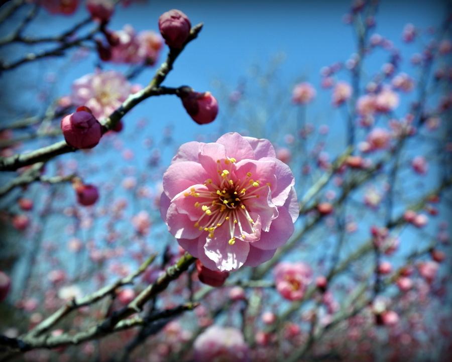 цветок сливы