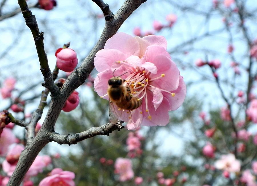 Слива и пчела