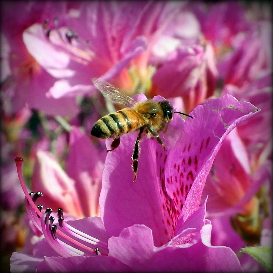 Пчела на цветке рододендрона