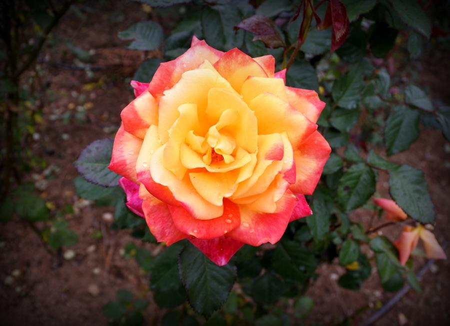 роза-2