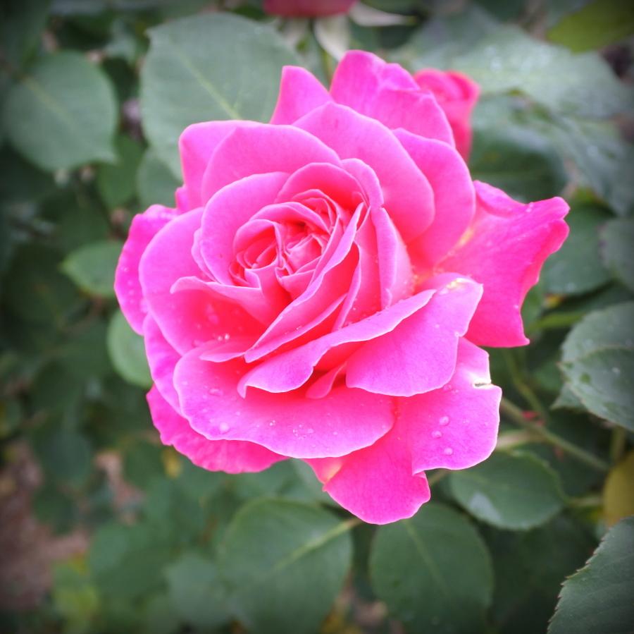 роза-4