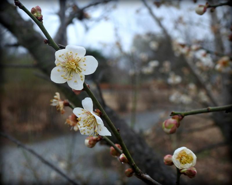 цветы абрикоса.JPG