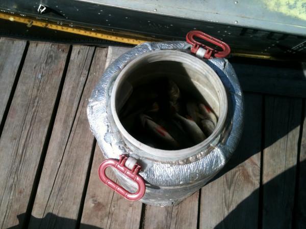 Рыбаки это называют полной бочкой окуней