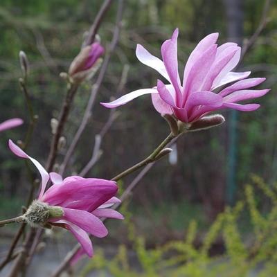 Magnolia-loebneri-Leonard-Messel ED