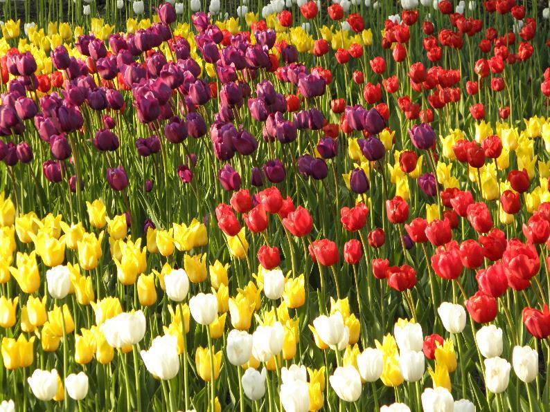 парк- тюльпаны