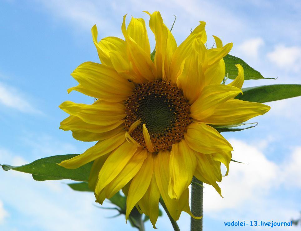 подсолнух-солнце