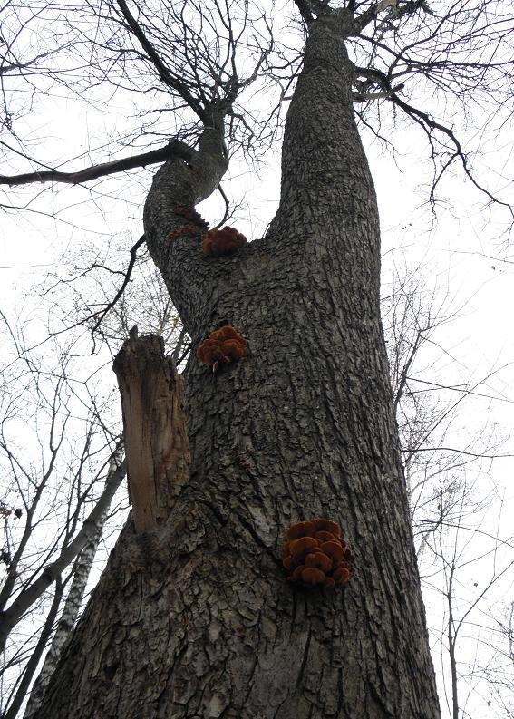 грибное дерево
