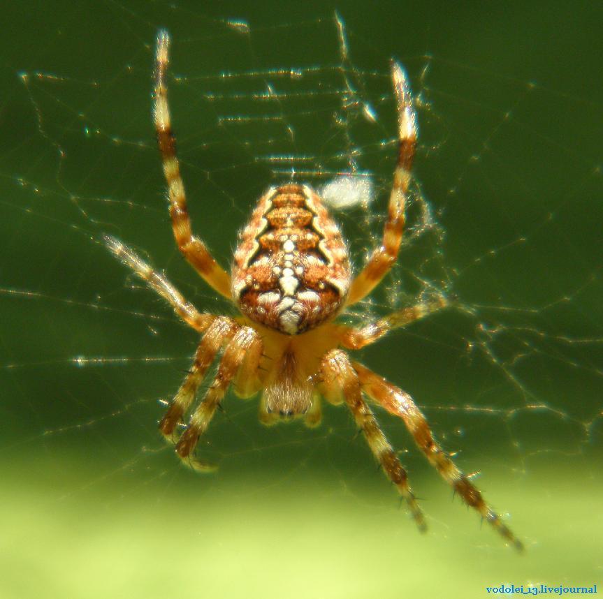 Насекомые- паук
