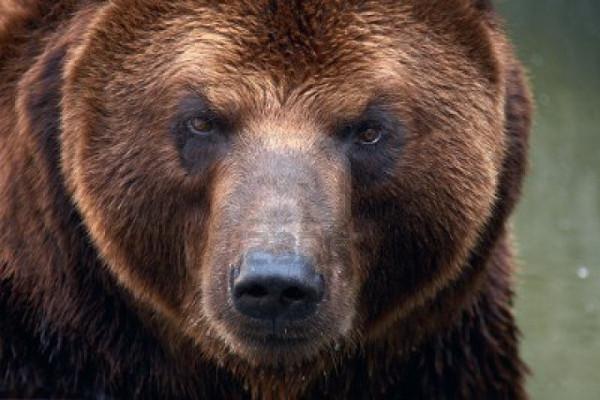 3704148-brown-bear-ursus-arctos-beringianus