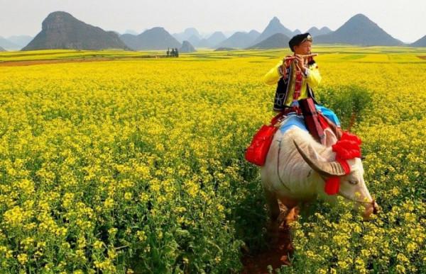 Luoping-fields-flowers-690x446