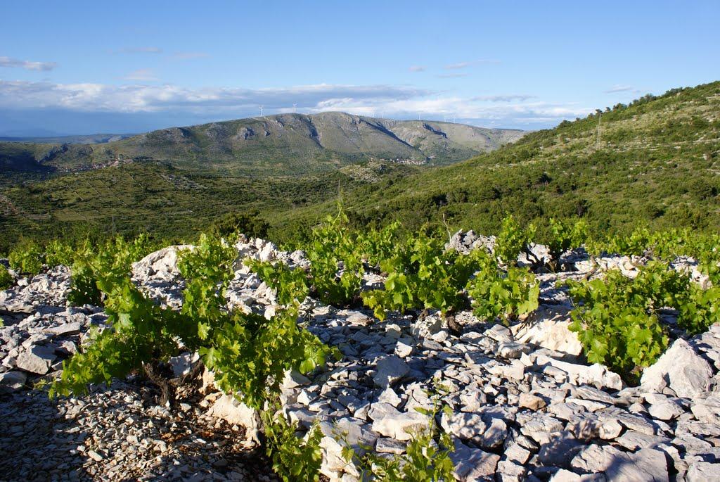 Виноград растёт фото Шимуна Галича