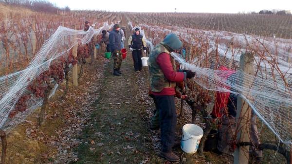 так выглядит сбор винограда 1