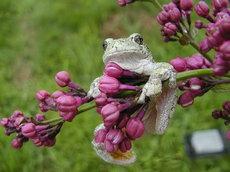 288732__grey-tree-frog_t