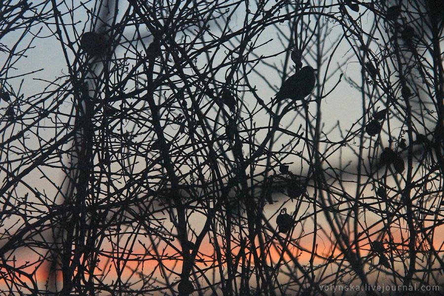 Дрозд на закате. Февраль 2016.