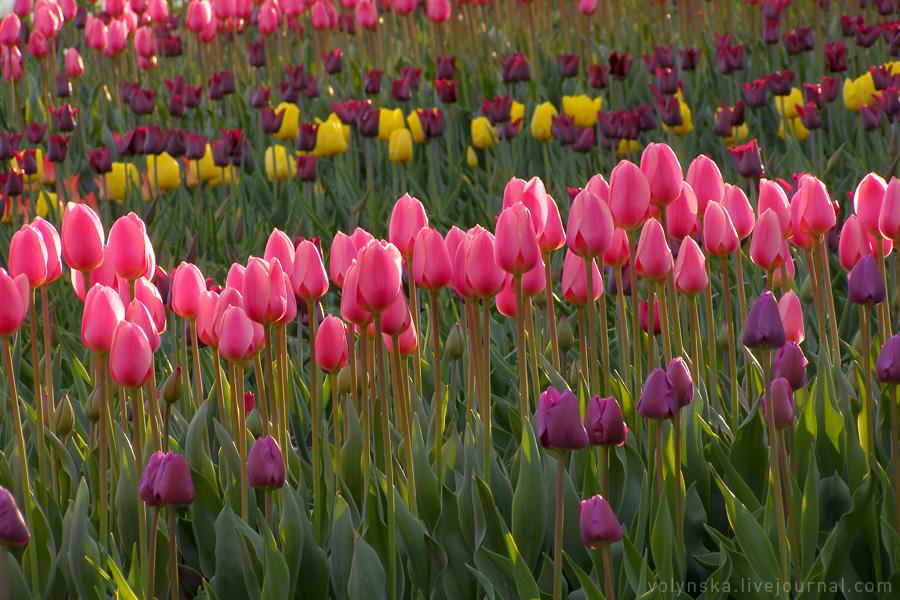 Тюльпаны на Певческом поле. Апрель 2016.