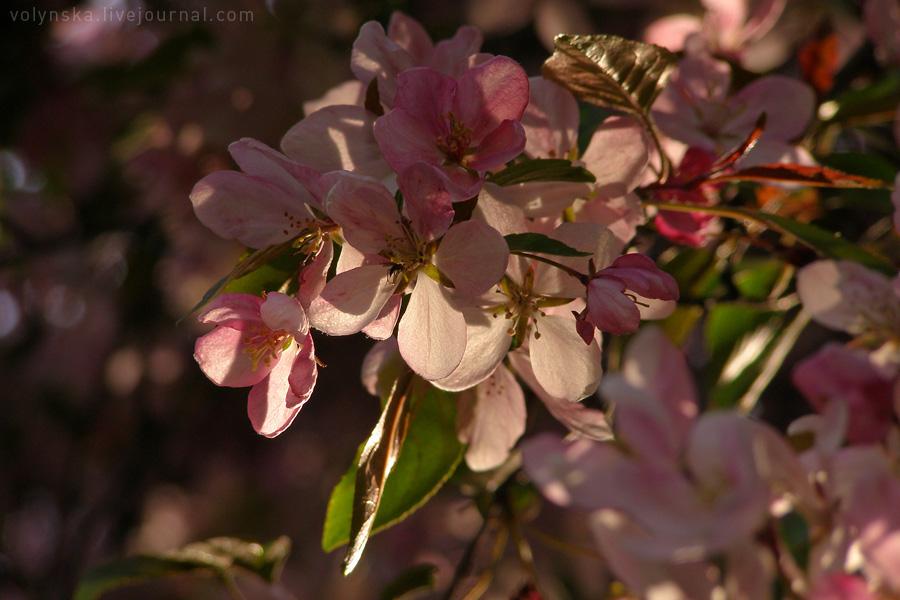 Райская яблоня. Апрель 2016.