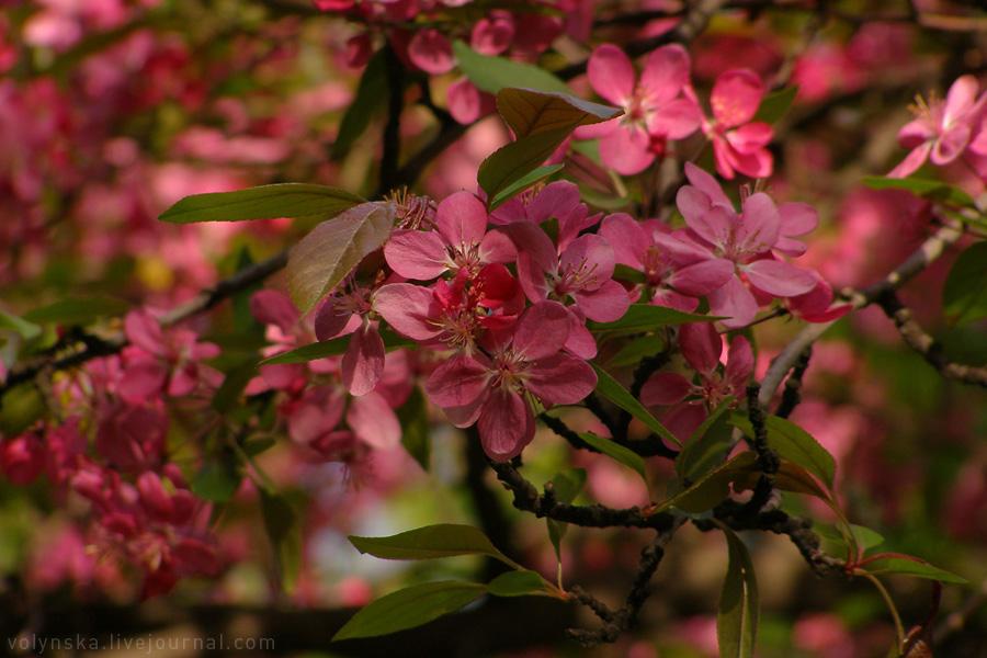 Райские яблони. Апрель 2016.
