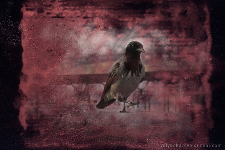 crow_.jpg