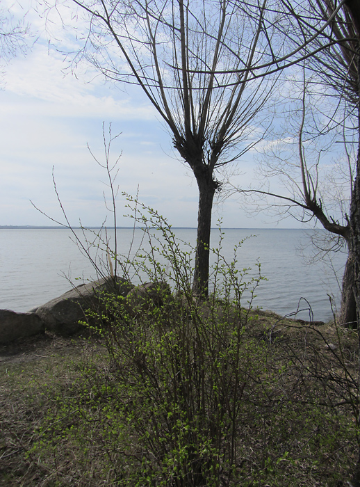 Плещеево озеро. Весенняя листва