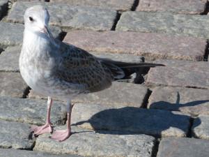 Чайка на набережной в Хельсинки.jpg