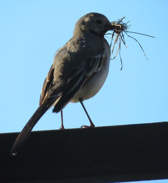 Wagtail in the morning.jpg