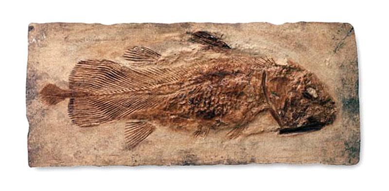 das-fossil-18507