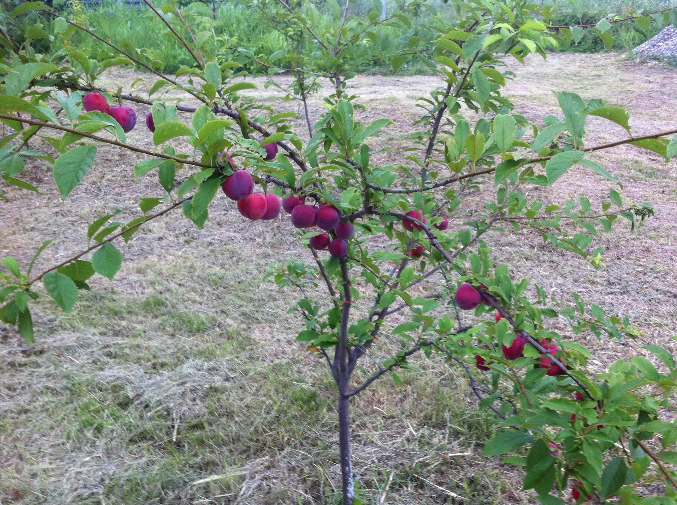 Совместимость плодовых деревьев с другими - «Ваш сад и дача 62