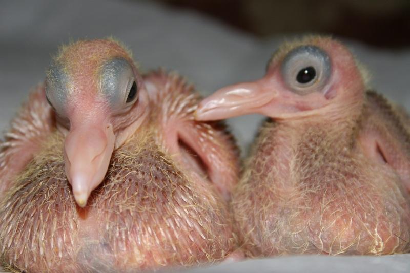 Куда голуби девают своих детей